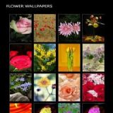Download Flower Wallpapers Cell Phone Software